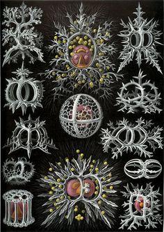 Items similar to Vintage Print Natural History Art Print: Ernst Haeckel Scientific Illustration Art Print on Etsy Arte Coral, Coral Art, Ernst Haeckel Art, Natural Form Art, Historia Natural, Nautical Art, Sea Art, Botanical Illustration, Beach Illustration