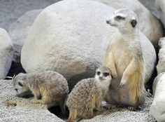 . Two baby meerkats, left, hang around an adult meerkat at the Erie Zoo in Erie, Pa. on March 13, 2012. The meerkats were born at the zoo in January 2012.   (AP Photo/Erie Times-News, Greg Wohlford)