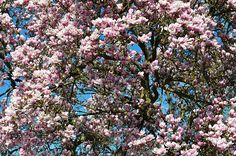 Wiosna, Kwiat, Ogród, Magnolia, Drzewo, Charakter