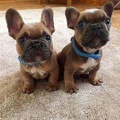 Cute French Bulldog Puppies With Blue Collars