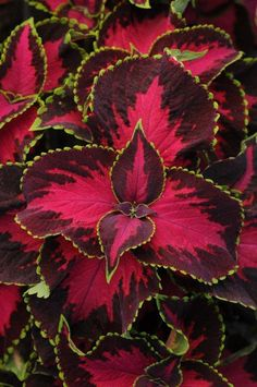 Coleus - Chocolate Covered Cherry: A sun hardy variety in a delicious new color!