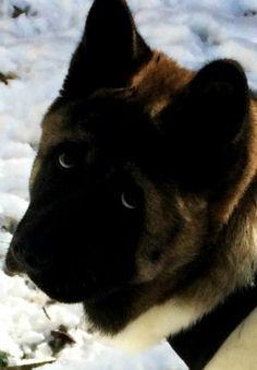 Akita Eyes