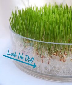 Something I want to try as a novice gardener who's a little OCD about household cleanliness. growing without soil Dirt-Free Wheat Grass Will Keep Your Bedroom Tidy