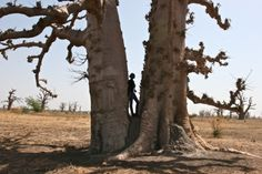 Telling a story in the baobab forest