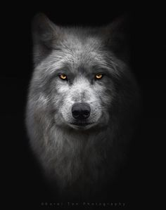Hudson Bay wolf, Hoenderdaell estate, Holland by Karel Ton / Wolf Photos, Wolf Pictures, Beautiful Wolves, Animals Beautiful, Wolf Hybrid, Wolf Eyes, Cat Eyes, Alpha Wolf, Wolf Photography