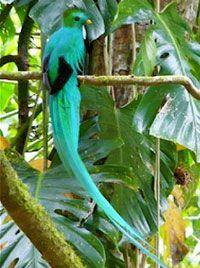 Debo ver un Quetzal mientras estamos allí - que es el ave sagrada de los aztecas. Boquete Panamá Quetzales