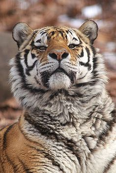 The Amur Tiger is the largest cat in the world.