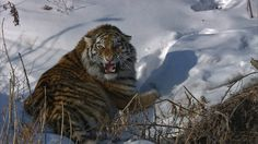 In pictures: Rare Siberian tigers caught on camera