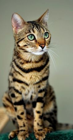 "lolcuteanimals: ""Pretty Bengal Cat. """