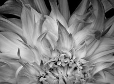 Flaming Dahlia by Russ Martin. An extreme close up of a dahlia flower in which the petals appear flamelike. The print is one of 50 plus two artist's proofs. It was created on mat surface fine art paper with archival pigment inks. There is a border of one inch on the top and bottom and borders of 1.6 inches on the right and left. The print is titled and numbered on the lower left and signed and dated on the lower right, in pencil.