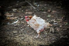 """A photo series of Rhode Island Red hens that spent the first 18 months of their lives in an egg-production factory farm. After 18 months the ladies are considered to be """"spent"""" and are sent to slaughter unless they're able to find a home like this which are unfortunately few and far between. Rhode Island Red, Factory Farming, Photo Series, Finding A House, Hens, Poultry, 18 Months, Adoption, Politics"""