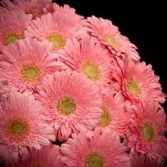 Certi Gerbera Germini Love You, roze, boeket, bloemen, Certi #Bloemen, #Planten, #webshop, #online bestellen, #rozen, #kamerplanten, #tuinplanten, #bloeiende planten, #snijbloemen, #boeketten, #verzorgingsproducten, #orchideeën