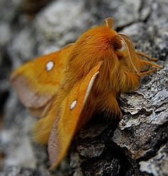 1Male Eastern Eggar@Eriogaster catax.jpg (286×300)