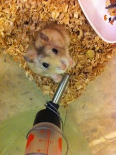 Hamsters for Adoption, Sale, Lost and Found, All Ages - PetFinder.my