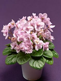 Optimara 'Rose Quartz' (Holtkamp, hybridizer) nice bunch of blooms!