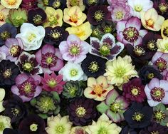 Hellebores -- (christmas rose), full-part shade, blooms march april, deer resistant, evergreen foliage. Needs rich, organic soil. Woodland garden and entry way/rock garden