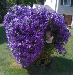 """I like to call my Clematis """"Cousin It.""""  It's a little crazy."""