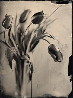 Still With Tulips (2012), photography by Peter Janosik. wet plate collodion process 18x24.