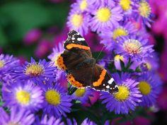 mariposa en una flor morada wallpaper