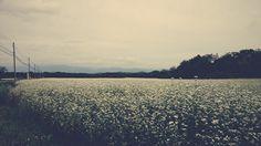 A field of soba in Okura, Yamagata #japan #vsco #fall