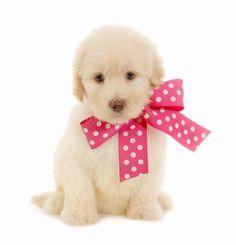Jenny Pink Dot ribbon Pink Dot M Medium   Birthday7-11-16 Ready 9-8-16 ParentsJennie/OpieGender Female GenerationF2B Goldendoodle medal Prep School (No Training) $2,600 Apply now After $250 deposit.