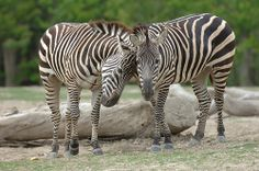 Zebras | Flickr - Photo Sharing!