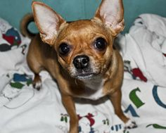 Miniature Pinschers are extremely loyal, alert, and playful.