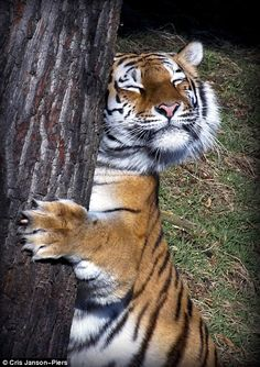 Chris Janson-Piers' photo of a Tiger shows the Big Cat enjoying scratching itself on a tree