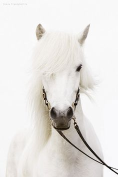 White horse - scarlettjane22:  Whiteonwhite by Gígja Einars.. on Flickr
