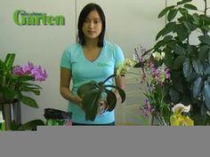 Zimmer-Orchideen sind heutzutage nicht so empfindlich, wie viele Pflanzenfreunde denken. Hier sehen Sie, wie Sie die Schmuckstücke richtig pflegen.