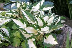 Hosta 'Fire and Ice' - Funkia | Sadzawka.pl
