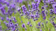 Mit intensivem Duft und leuchtenden Blüten verschönert Lavendel jeden Garten und Balkon. Der Halbstrauch sieht nicht nur toll aus, er eignet sich auch als Gewürz.