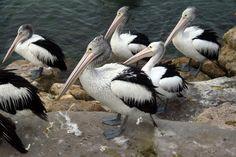 Australian Pelicans waiting for local fishermen on Kangaroo Island.