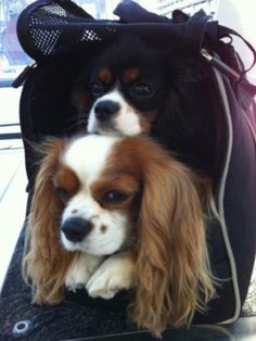 Double trouble! Julianne hough's dogs
