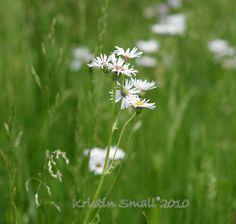 Daisies, NH, Spring 2010 | Flickr - Photo Sharing!