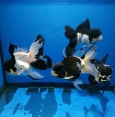 Beautiful black and white Panda Oranda fancy goldfish