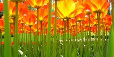 Under the tulips. Photo #11 by ♥siebe ©