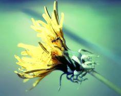 Noir fourmi sur jaune pissenlit