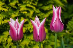 Tulip 'Ballade' has goblet-shaped flowers with pointed, out-curving petals.  The conifer in the background is Chamaecyparis lawsoniana 'Stardust'