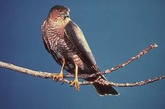 sharp shinned hawk...this guy is spending too much time in our yard looking for a free meal....of birds