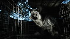 A Camera Aimed at the Conscience 'The Ghosts in Our Machine' Focuses on Animal Rights