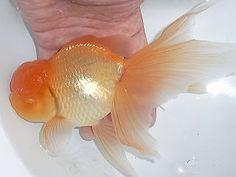 弥富金魚 丸文 goldfish Nice soft color on this Oranda {tae}