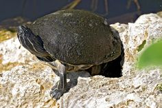 Turtle Red Belly, Everglades National Park, Florida (pinned by haw-creek.com)