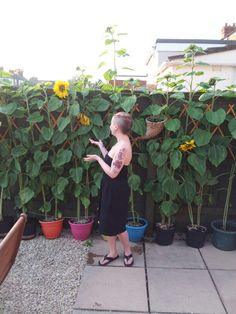 Pretty tall sunflowers! Although I am only 5ft