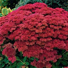 Looking for the perfect flower for ground cover or a rock garden? Our premium sedum is sure-to-please! Summer Bulbs, Spring Bulbs, Spring Blooms, Perennial Bulbs, Flowers Perennials, Planting Flowers, Hardy Perennials, Partial Shade Flowers, Beautiful Gardens