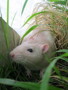 La balade des rats en hautes herbes Les Rats, Ferret, Service, Ratatouille, Rue, Cats, Dumbo Rat, Cute Memes, Animaux