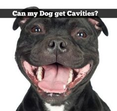 Blog post at SlimDoggy : You never used to hear too much about dogs getting cavities. That's because dogs don't normally eat the sugary sweets that cause dental cari[..]