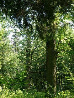 Pologne,  parc national de Białowieża: chêne Bona Sforza, route des chênes royaux Reina, Bari, Biomas, Plantas, Lituania, Polonia