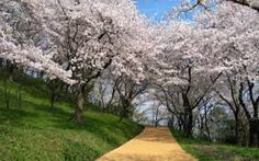 JAPAN ALMOND TREE PARKS - Google Search