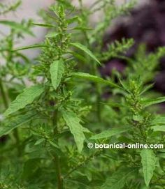 epazote Medicinal Weeds, Different Plants, Plantar, Growing Plants, Plant Leaves, Medicine, Health, Mexico, Ideas